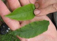 Elderberry top / Poison Hemlock bottom