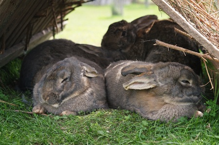 feeding your rabbits