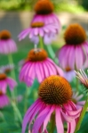 echinacea has great benefits