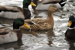 like ducks in water