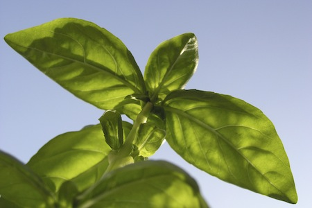 The Outdoor Pharmacy: Basil – 5/2/12