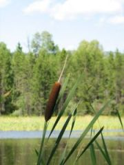 a cattail has lots of uses for the survivor