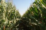 More GMO corn