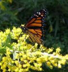 the medicinal value of goldenrod
