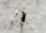 mutant mosquitos