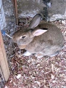 drinking rabbit