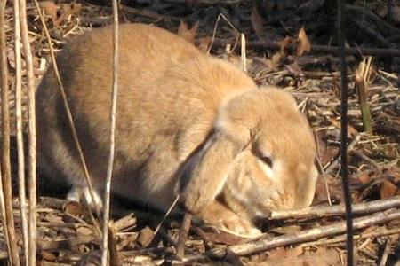 Sunning rabbit